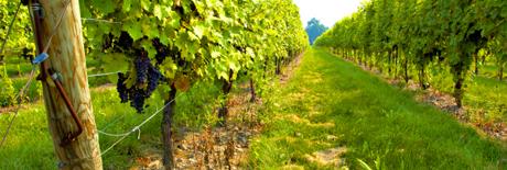 vineyard in niagara on the lake